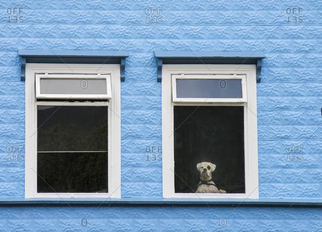 A Dog looking through a hotel window in Akureyri, Iceland.