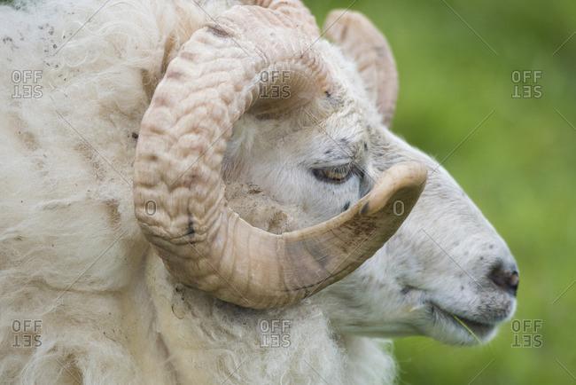 Close up of a Sheep on Flatey island, Iceland.