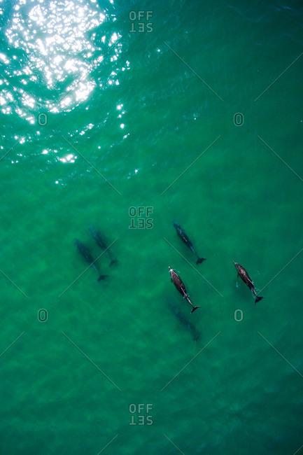 Rare coastal bottlenose dolphins swim near the shoreline in Malibu.