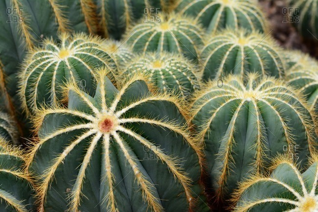 A cluster of Parodia magnifica cacti from southern Brazil at the New York Botanical Garden.