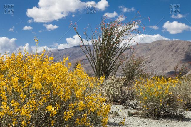 The yellow-flowered Brittlebush, Encelia farinosa, Jumping cholla cactus, Cylindropuntia fulgida, and the tall Ocotillo, Fouqueria splendens, in California's Anza-Borrego Desert State Park.