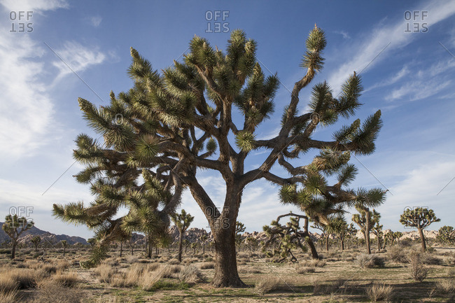 A Joshua tree, Yucca brevifolia, in Lost Horse Valley in Joshua Tree National Park in Southern California.