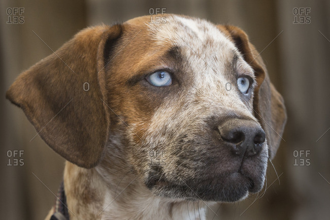 A four-month-old male Catahoula leopard dog, the state dog of Louisiana.