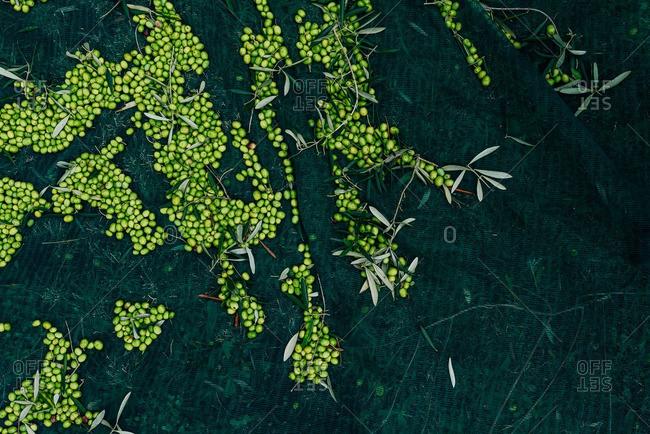 A harvest of olive fruit