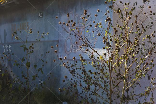 Dead plants beside a building in Marfa, Texas