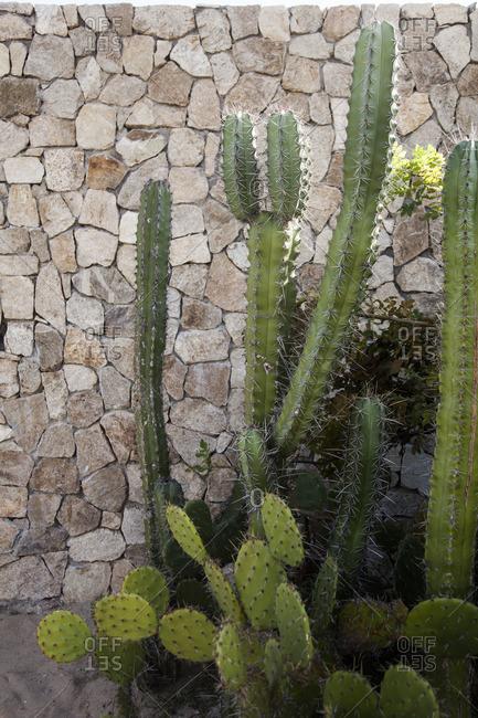 Cactuses in Puerto Escondido, Oaxaca, Mexico