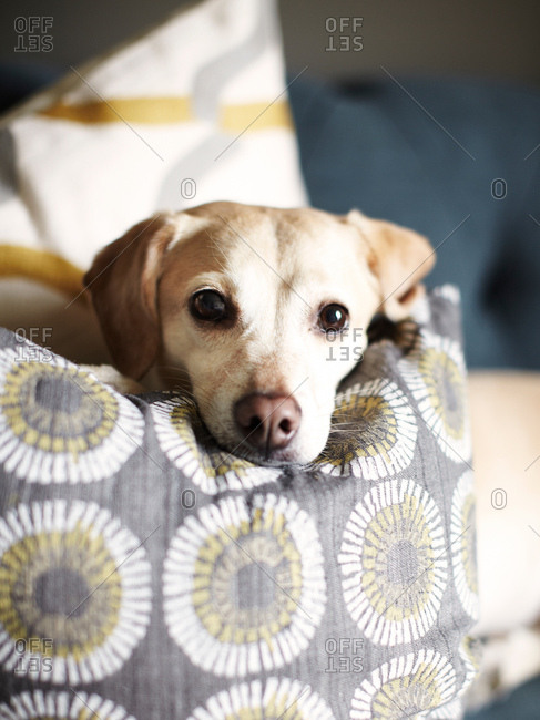 Headshot portrait of dog resting on sofa cushion