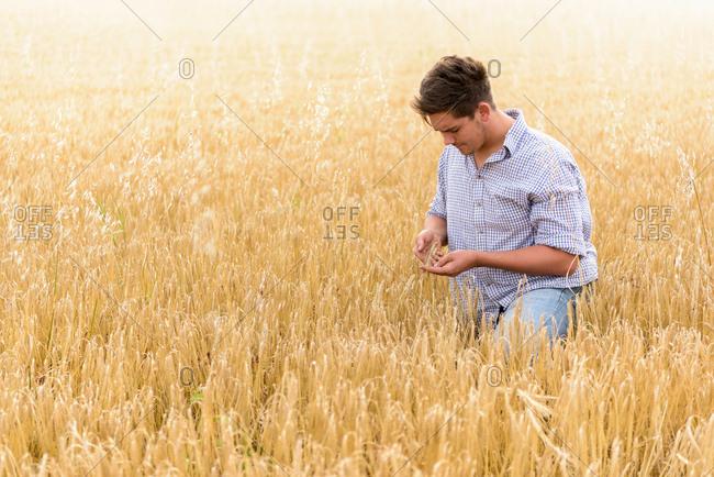 Farmer inspecting crop of organic barley in field