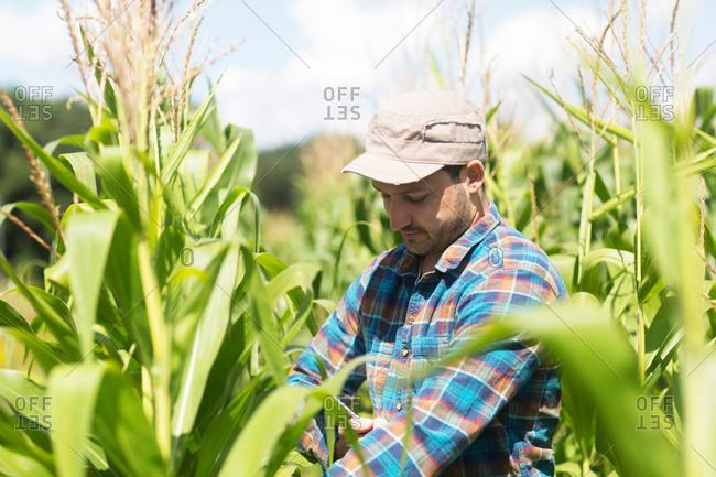 Farmer in corn field quality checking corn plants