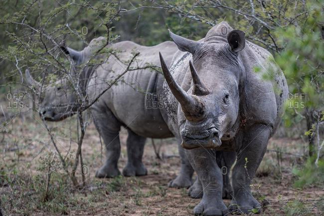 Endangered White Rhino and calf, Hluhluwe-Imfolozi Park, South Africa