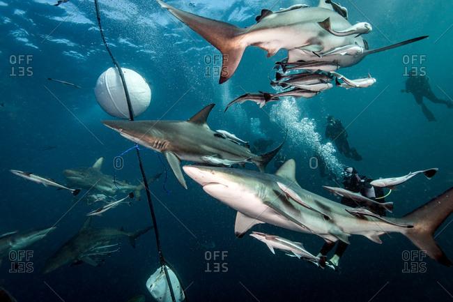 Oceanic Blacktip Sharks (Carcharhinus Limbatus) circling bait near surface of ocean, Aliwal Shoal, South Africa