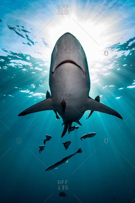 Large Oceanic Blacktip Shark (Carcharhinus Limbatus) swimming near surface of ocean, Aliwal Shoal, South Africa