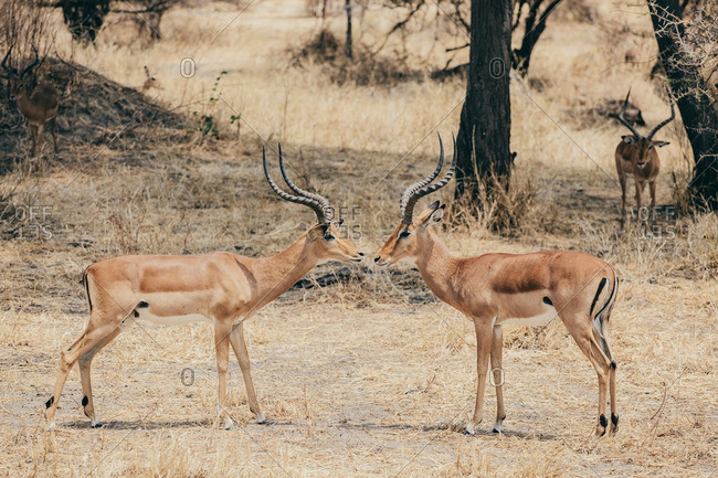 Two antelopes in the Serengeti