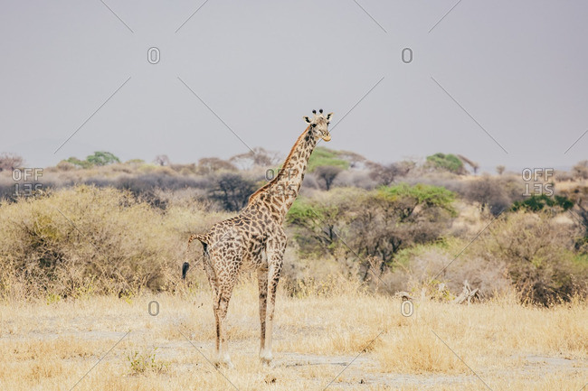A single giraffe in the Serengeti