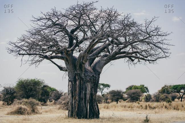 Dead tree in the Serengeti