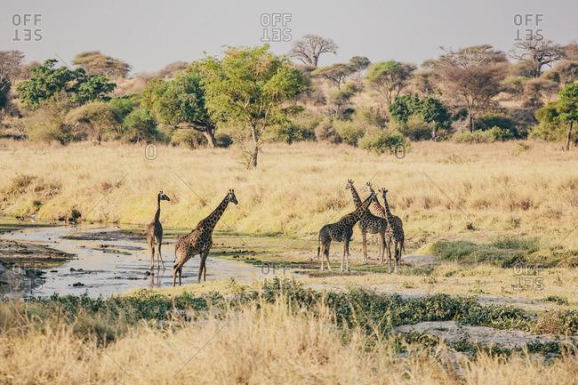 A giraffe herd standing in water