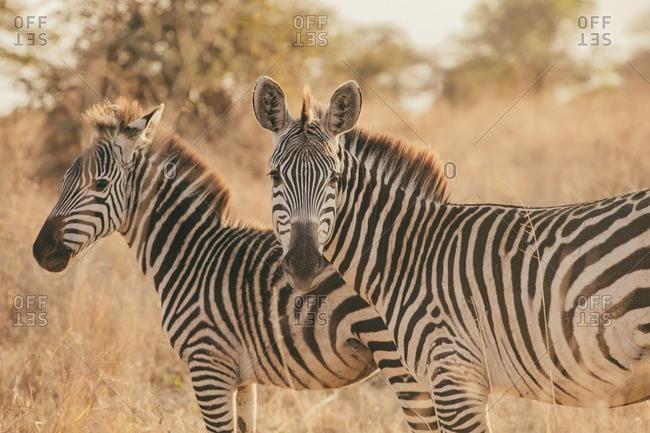Two zebras in the Serengeti, Tanzania