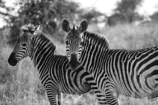 Two zebras in the Serengeti