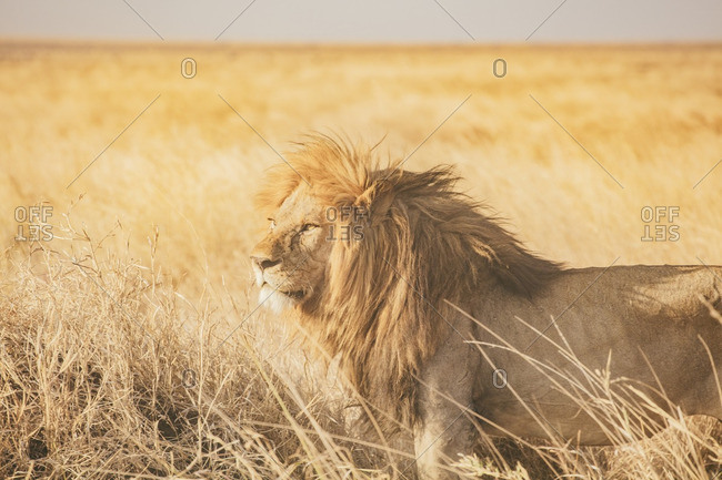A lion in the Serengeti in Tanzania