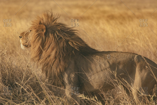 A lion in the Serengeti, Tanzania