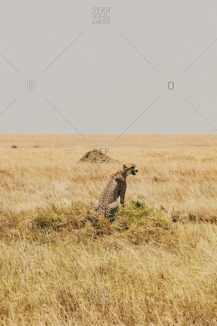 A cheetah sitting in Serengeti