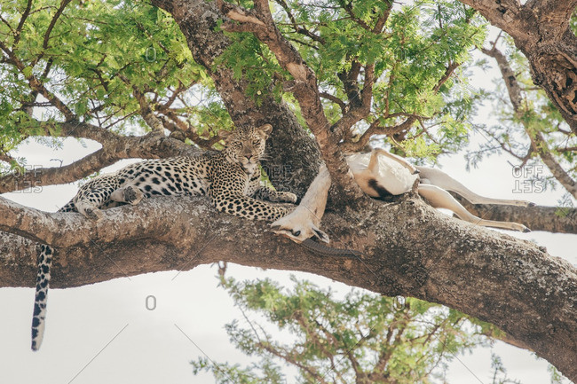 Cheetah with dead antelope in tree