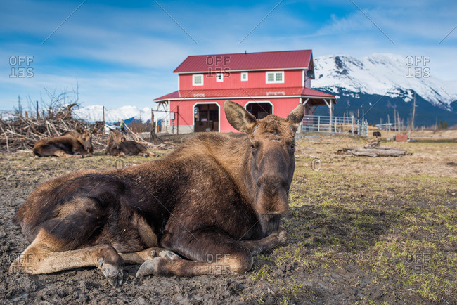 Moose lying in rural setting