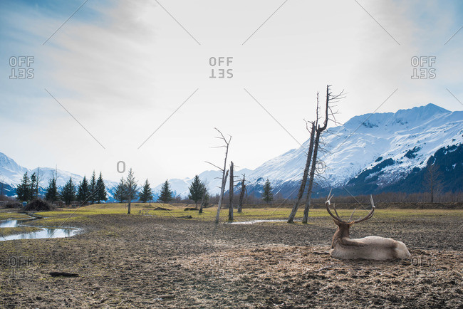 Moose laying in rural setting