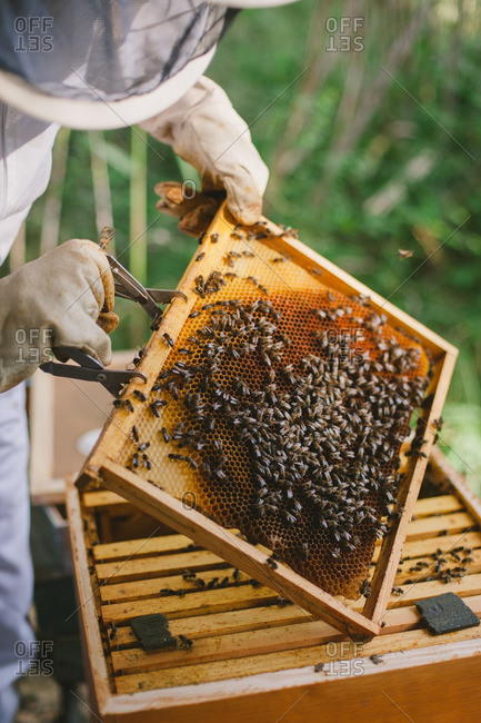 Beekeeper removing a honeycomb frame from a hive