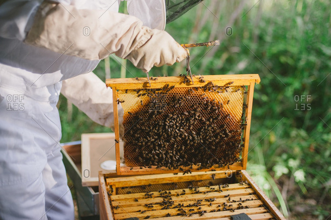 Beekeeper lifting a honeycomb frame from a hive