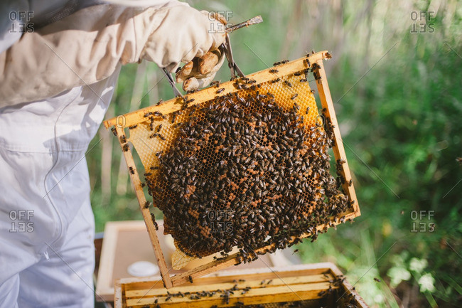 Apiarist holding a honeycomb frame from a hive