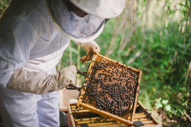 Beekeeper holding a honeycomb frame from a hive