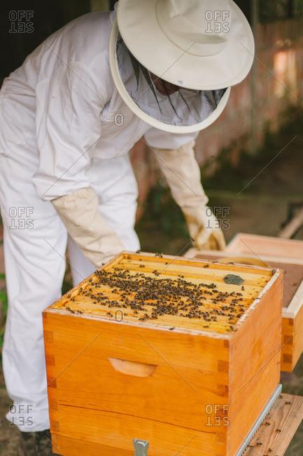 Beekeeper inspecting a beehive