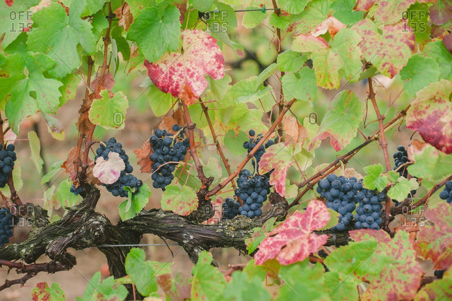 Grapes growing on a grapevine