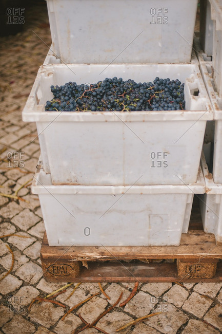 Containers filled with freshly harvested grapes