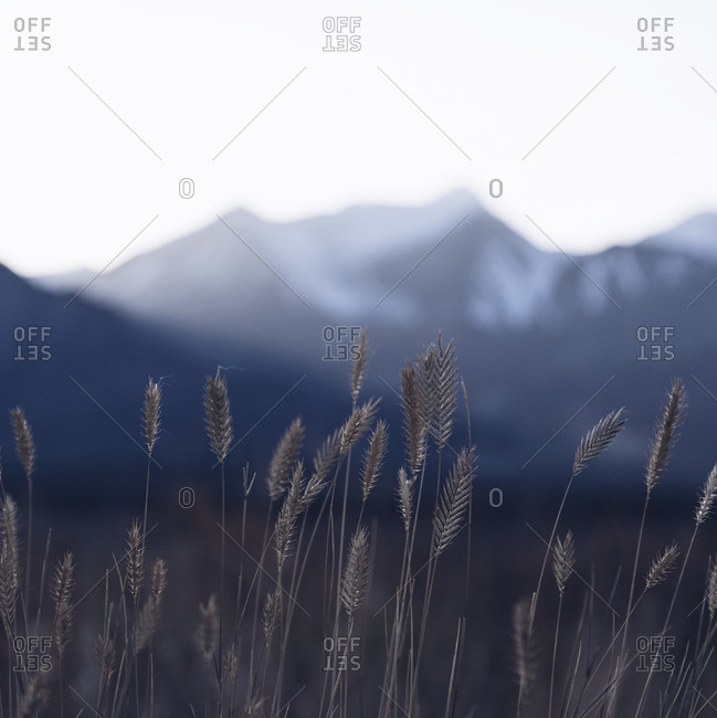 Close-up view of wild grasses in a mountain environment