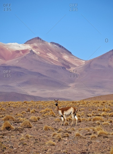 Bolivia, Potosi Departmant, Sur Lipez Province, Vicuna(Vicugna vicugna) in the Eduardo Avaroa Andean Fauna National Reserve.