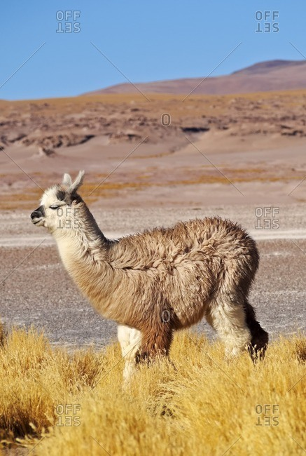 Bolivia, Potosi Departmant, Sur Lipez Province, Eduardo Avaroa Andean Fauna National Reserve, Alpaca and Jarava Ichu Grass on the shore of the Laguna Colorada.
