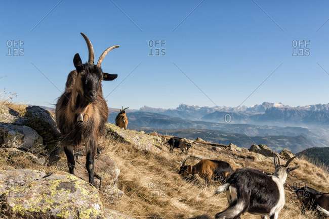 italy, trentino alto adige, herd of goats graze on Luco mount.