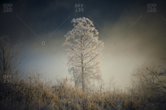 Tree Covered With Hoar Frost In Pitt Meadows, British Columbia