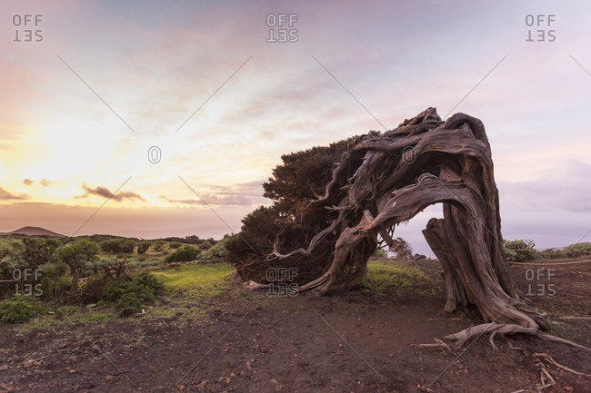 Typical Tree Bent By The Strong Wind On The Landscape Of El Hierros, Canary Islands, Spain