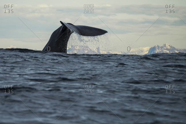 Tail Of Sperm Whale While Swimming On Sea In Andenes, Norway