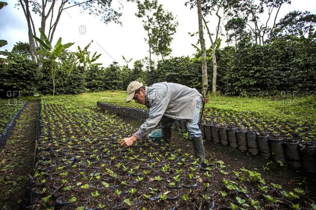 Man Harvesting Coffee Bean On Field In Manizales, Columbia