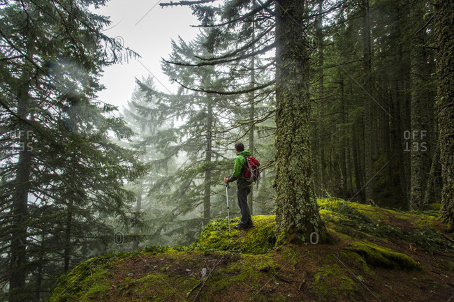 A Man Hiking Alone In Forest Exploring Big Trees On A Wet Foggy Afternoon