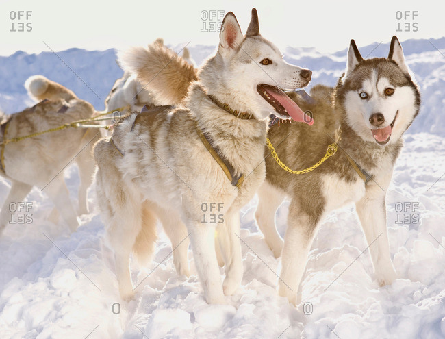 Huskies in winter