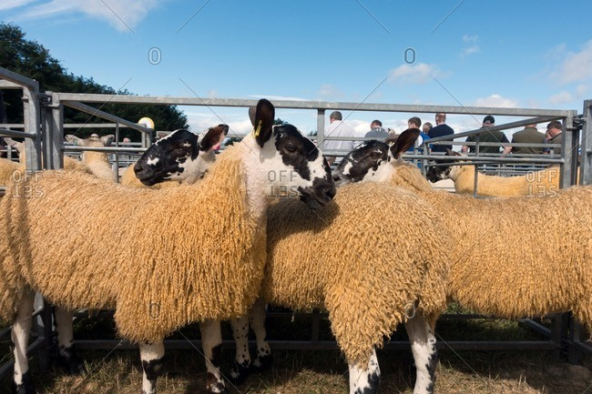 Kinross, Scotland - August 13, 2016: Sheep standing together in a pen