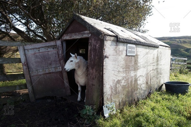 Sheep standing in the doorway of a wooden shed