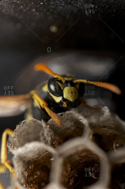 A yellow jacket wasp on nest