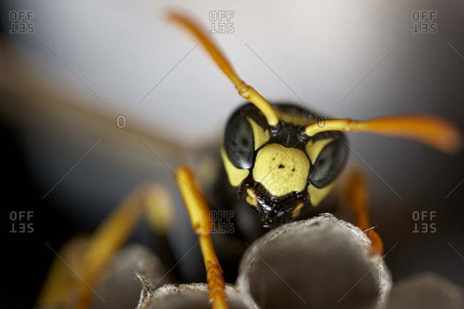 A yellow jacket wasp in close up