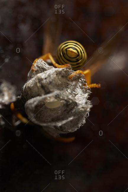 Rear view of yellow jacket wasp